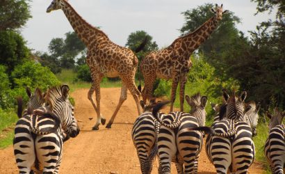 Zebra and Giraffes in Mikumi National Park